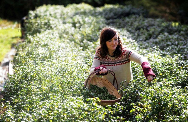 Tea Picking - PLEASE CREDIT SWNS